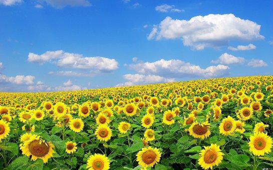 Ученые нашли истинные причины того, почему подсолнухи следят за Солнцем