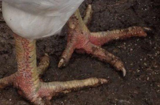 Чилийские биологи вернули курам лапы ящеров
